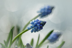Let's celebrate Spring (Back in a few days, busy studying) Tags: blue macro closeup canon maastricht march spring soft blauw bokeh deirdre lente maart macrolens springflower 2016 zacht muscaribotryoides blauwedruifjes beautifulbokeh lentebloem realbokeh canon7dmarkii canon7dmii deirdremoments echtbokeh lentemaand