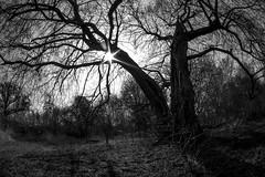 SternStunde (Panasonikon) Tags: alterbaum geäst panasonikon olympusomdem1 gegenlicht sonne bw weitwinkel walimex75 fisheye