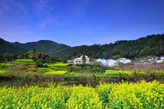 Field of rapeseed flowers at Wu Yuan  (Vincent_Ting) Tags: china sunset sky reflection tree architecture clouds sunrise dawn shadows smoke  fishingboat   huangshan wuyuan anhui traffictrails       jiangxiprovince    terracedfield     rapeseedflowers                  fogscene countrysidescenery    vincentting traditionvillage          traditionkitchen