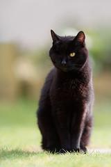 Figgy's eye op has healed :) (Jonathan Casey) Tags: blackcat f2 200mm vr1 d810