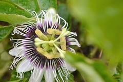 Passiflora (Murillo Raggio) Tags: flower fruit flor passion passiflora maracuj