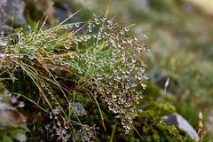 Morgentau (Ernst_P.) Tags: berg tirol sterreich wasser pflanze gras tau alpen tropfen tautropfen aut inzing