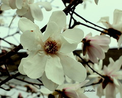For Brussels....for the World (judecat (back with the pride)) Tags: brussels nature prayer magnolia