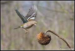 Eccomi! (torben84) Tags: nature fauna fly nikon natura volo tamron avifauna parus maior decollo tamronlens cinciallegra fringuello atterraggio landig fringuelli 150600 d7200