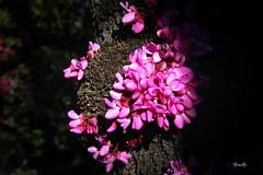 primavera... (Garciamartn) Tags: naturaleza flores tronco
