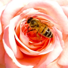 Bee in Rose (eye_see_a_pic) Tags: pink roses cute nature beautiful rose canon ilovenature amazing bees awesome bee honey adelaide pollen southaustralia beautifulday beautifulplace canonaustralia