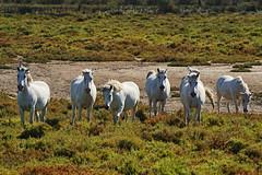 FRANA - Camargue (Infinita Highway!) Tags: trip travel horse white france europa europe frana viagem cavalos camargue selvagens