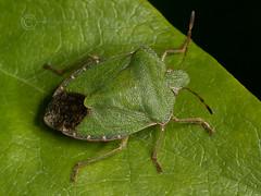 1532 Green Shield Bug - Palomena prasina (Pete.L .Hawkins Photography) Tags: green bug pentax shield prasina palomena pentax100mmmacro petehawkins petehawkinsphotography pentaxk3 petelhawkins pentaxmacroinsects