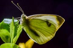 Kleiner Kohlweiling Pieris rapae 160325 019.jpg (juergen.mangelsdorf) Tags: butterfly schmetterling pieridae tagfalter weislinge