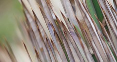 Line of Defence.... (setoboonhong) Tags: plant abstract nature up field leaves gardens cacti botanical succulent colours close bokeh outdoor melbourne sharp textures points thorns depth markings striations