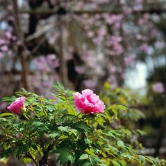 A Pair of Peonies (Purple Field) Tags: flower color slr 120 6x6 film japan analog zeiss walking square cherry temple spring kyoto fuji peony hasselblad velvia carl    medium    cf f40  100f 500cm sonnar nagaokakyo   150mm   rvpf