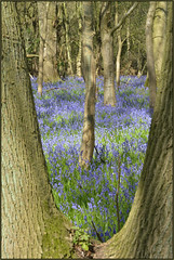 Bluebells In Southwick Woods (image 2 of 4) (Full Moon Images) Tags: plant flower nature bluebells woods wildlife bcn northamptonshire reserve trust wildflower southwick