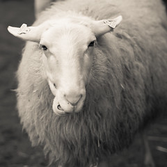 Is there something you want to tell me (Peter Jaspers) Tags: blackandwhite bw animal square blackwhite sheep olympus zuiko overijssel omd 2016 sheepfold 500x500 em10 lammetjesdag schaapskooi giethmen 45mm18 frompeterj