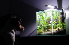 Fascination! (JPKI) Tags: aquarium pentax kitlens charly mydog k50 danishswedishfarmdog dansksvenskgrdshund