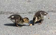 A Morsel Of Bread! (RiverCrouchWalker) Tags: birds bread spring feeding ducklings april mallard essex anasplatyrhynchos rhs hydehall 2016 rettendon rhshydehall
