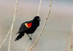 Red-winged Blackbird (Ruthie Kansas) Tags: