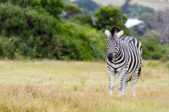 Burchell's Zebra Looking (charissadescande) Tags: nature animals southafrica outdoor wildlife naturereserve zebra za easterncape portelizabeth gamereserve burchellszebra gamedrives wildlifeconservationpark