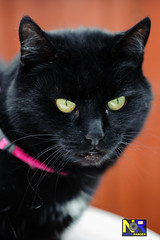 Black Pussy Cat (Nikon Ranger) Tags: pet black cat pussy depthoffield poppy pussycat blackpussy petpussy