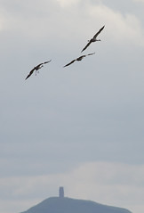 Catcott Lows-3654 (oldparson) Tags: crane glastonbury cranes tor somersetlevels catcott