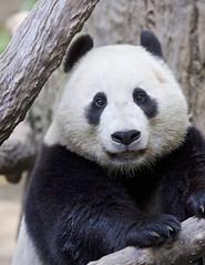 Xiao Liwu says hello (Rita Petita) Tags: china california panda sandiego explore giantpanda sandiegozoo specanimal xiaoliwu