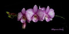 Orquídeas/Orchids (Altagracia Aristy) Tags: orquídeas orchids orchidees laromana quisqueya repúblicadominicana dominicanrepublic caribe caribbean antillas antilles trópico tropic américa altagraciaaristy fujifilmfineixhs10 fujifinepixhs10 fujihs10i blackbackgroundsfondonero