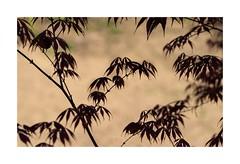 Silence (sorrellbruce) Tags: nature leaves silhouette still quiet fuji japanesemaple serene meditation stillness softlight contemplation tracery lr6 photoninja framefun fujinon90mm fujixt1 petebridgwoodsharpeningpresets