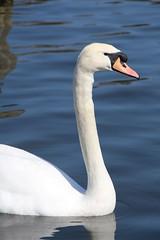 The Serpentine (richardr) Tags: park uk greatbritain england bird london english water swan europe european unitedkingdom britain british hydepark kensington kensingtongardens europeanunion serpentine kensingtonchelsea kensingtonandchelsea