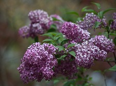 Hand me a paintbrush (KsCattails) Tags: flower yard spring nikon purple lavender depthoffield neighborhood lilac kansas shrub d7000 kscattails