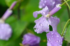 20160403-DSC_5419.jpg (d3_plus) Tags: sky plant flower macro nature rain japan walking nikon scenery waterdrop bokeh hiking drop daily rainy bloom   wildflower tamron  kanagawa   aftertherain dailyphoto    thesedays tamron90mm sagamihara   dogtoothviolet       shiroyama   erythroniumjaponicum   tamronmacro  tamronspaf90mmf28 tamronspaf90mmf28macro11 d700 172e  tamronspaf90mmf28macro nikond700  spaf90mmf28macro11 172en dogtoothvioletvillage