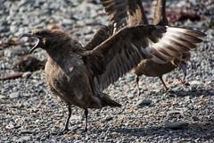 Screaming Skua (Barbara Evans 7) Tags: brown island barbara prion antarctic skua evans7