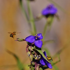 Spiderworts and Bees ~~ SonyA580 (country67) Tags: nature buzz fly flying wings pollen purpleflower naturephotography flickraddicts pollinator insectonflower sunnyflorida flickrnature floridaphotography sonydslra580 country67 april2016 adardurden spiderwortsandbees