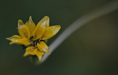 Mystery flower opening (debunix) Tags: yellow whoami flowerbudblossom possiblepentachaetaaurea