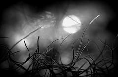 In the spotlight (Shelby's Trail) Tags: bw plant macro monochrome bokeh spanishmoss hbw bokehwednesdays hmbt monochromebokehthursday