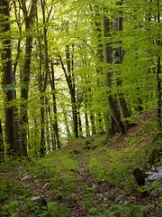 P4210326 (turbok) Tags: pflanze bume buche wildpflanzen laubbume