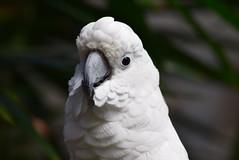 Bloedel Conservatory, Vancouver (careth@2012) Tags: portrait nature wildlife beak feathers cockatoo bloedelconservatory