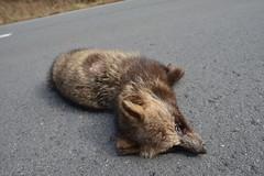 Japanese raccoon dog roadkill--01-(ASO)74-20160306-150237__ (HYLA 2009) Tags: taiwan yhhsu katechen kyushu japan  e{  aso roadkill  kurabaru kumamotoken     wildlife mammal  nyctereutesprocyonoides