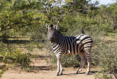 IMG_7932 (Kev Gregory (General)) Tags: africa mountain game mountains field river private african district south reserve sigma safari zebra guide shaun 50500 gregory kev limpopo equus waterberg jenkinson burchells quagga burchellii thabazimbi marakele marataba motlhabatsi