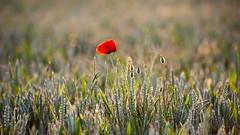 _DSC7884 (Rosemarie Dekert) Tags: summer field june berkhamsted poppies flowersplants 2015
