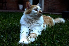 077 (guadx) Tags: naturaleza cats pets green nature animal nikon gatos felinos mascotas d3200