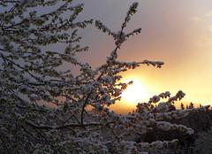 """""""Aprilwetter"""" (Mariandl48) Tags: schnee austria sonnenaufgang steiermark kirschblten aprilwetter wenigzell sommersgut"""
