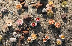 Lithops verruculosa (Etwin1) Tags: lithops livingstones mesembs pebbleplants lithopsflowers selectasucculents lithopsverruculosa beeskloutjie