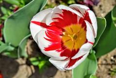 Tulip  DSC_1434 (Me now0) Tags: tulip 1855mmf3556   nikonflickraward nikond5300