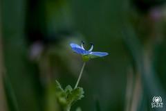 Pistils (andrea.prave) Tags: flowers flower fleur azul little flor veronica polen pollen  piccolo blume fiore azzurro lightblue ciano   myosotis pistils polline  extensiontubes pistilos pistilli occhidellamadonna