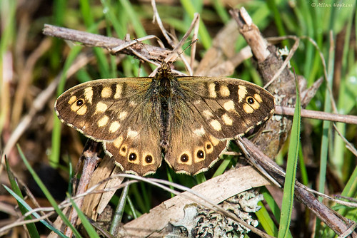 Speckled Wood butterfly (Pararge aegeria tircis), male