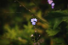 Forget me not flowers (|| Rehnumah Insan ||) Tags: blue light summer flower nature contrast forest garden dark season flora shadows dof bokeh natura depthoffield forgetmenot dslr 50mm18 canon600d