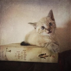 Our other new #kitten Diego . He loves reading Ruiz Zafn . He is a Siamese Lynx blue point cat  #book-cover (sole) Tags: cute animal square kat feline kitty gato squareformat katze kittycat sole carmengonzalez iphoneography siameselynxbluepoint