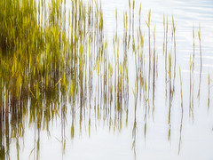 Young reeds (STEHOUWER AND RECIO) Tags: lake holland green reed nature water netherlands dutch reflections reeds spring aqua meer groen young nederland natuur shore lente riet hollands jong simle reflecties