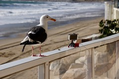 Seagull curious about my iPhone ((Jessica)) Tags: california sky beach clouds santamonica seagull behindthescenes pacificpalisades pw iphone jobygorillapod fluxmobboltbattery