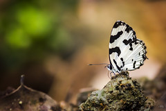 ...Angled Pierrot.. (Movin Photography) Tags: macro nature field animal yellow canon butterfly landscape photography long outdoor wildlife ngc kingfisher serene depth pierrot bangladesh tailed angled select songbird shrike naturelover