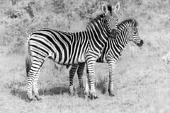 Zebra and foal (Sheldrickfalls) Tags: southafrica zebra mpumalanga plainszebra burchellszebra lydenburg zebrafoal babyzebra kuduranch kuduprivatenaturereserve kudugameranch kpnr